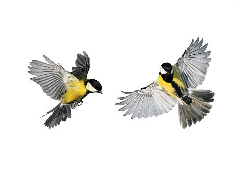 Kostenloses Bild Auf Pixabay Meise Vogel Fliegen Kohlmeise Meise Fliegende Vogel Kleine Vogel