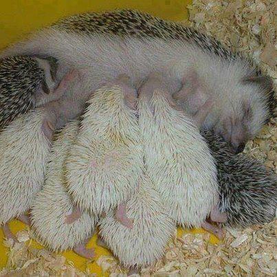 hedgehog mommy!: