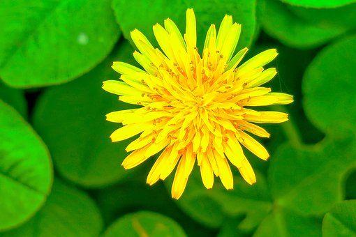 Chrysanthemum Xie Natural Bloom Flower Images Chrysanthemum Flower Chrysanthemum