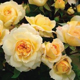 ROSIER GENEROSA® 'MARC-ANTOINE CHARPENTIER®' - Rosier au parfum envoutant de rose thé et aux boutons jaune vanille à blanc crème. Isolé ou en massif.