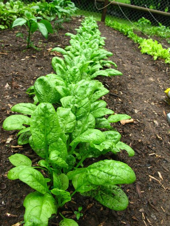 Growing Spinach from Seed the Easy Way: Home Grown Spinach: