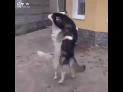 Perro Bailando Lambada En El Patio Tik Tok Firulais Perro Bailando Perros Graciosos Perro Y Gato Juntos