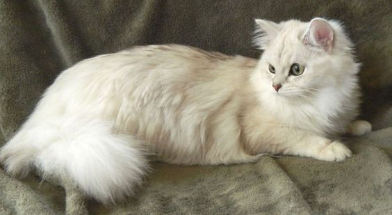 burmilla cat - Google Search