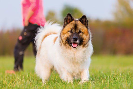 Elo Hunde Hunde Rassen Reinrassige Hunde