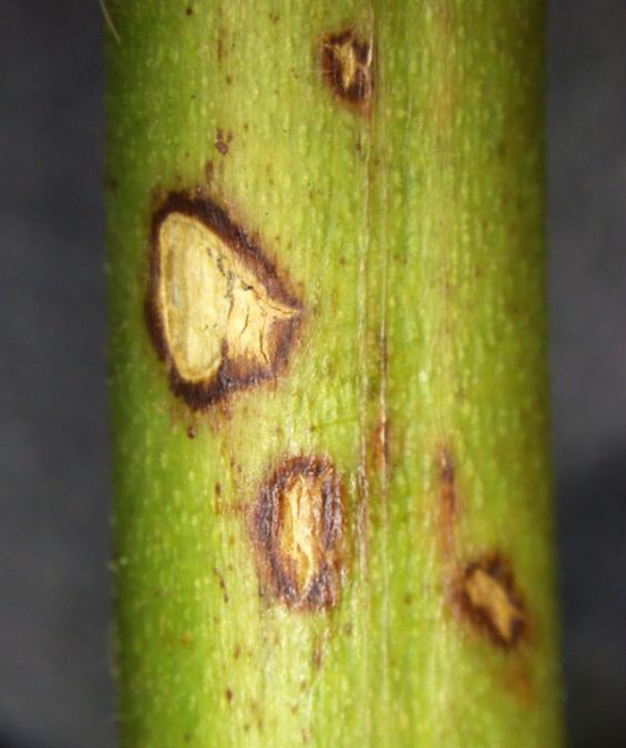 Anthracnose on blackberry/raspberry