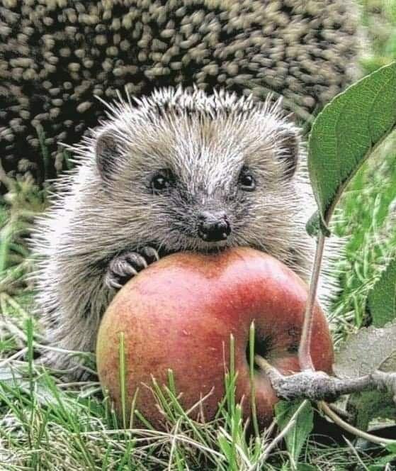Pin Von Melanie Favet Auf Herzige Igel Igel Im Garten Ausgestopftes Tier Susseste Haustiere