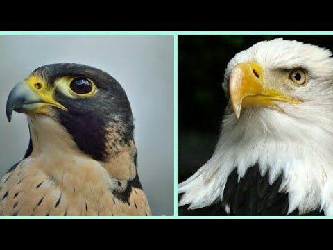 ما الفرق بين الصقر والنسر عقاب رخماء وايهما اسرع Youtube Bald Eagle Birds Animals