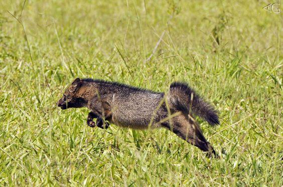 Pesquisa de campos sobre mamíferos do cerrado. Cachorro-do-mato, ou melhor, um 'trisco de bicho' correndo em disparada para liberdade.