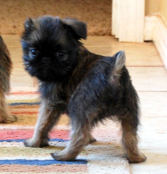 I LOVE BRUSSELS GRIFFONS......i love all of the pups....all sizes...all ages....
