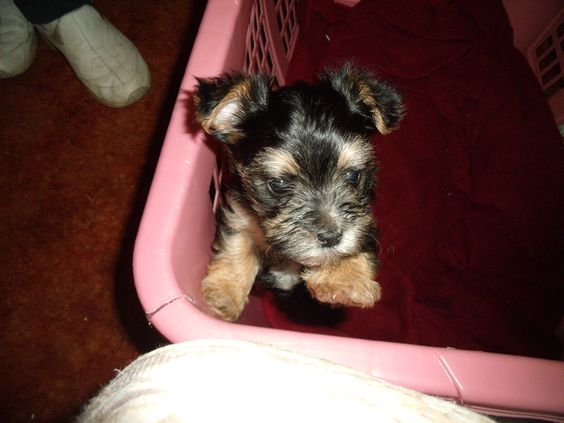 my maltese (kya) and friends yorkie (jackson) made this beautiful little girl morkie (katie)