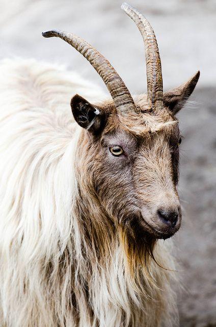 'A Goat' - photo by Jens Söderblom, via Flickr;  at Zoo Skansen in Stockholm, Sweden