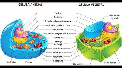 Resultado De Imagen Para Afiche De Celula Animal Celulas Eucariotas Animal Célula Vegetal Célula Animal