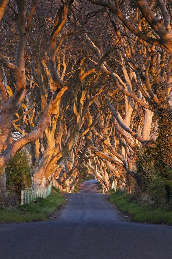 The Dark Hedges, 300 year old Beech trees, line the Breagah Road in Northern Ireland