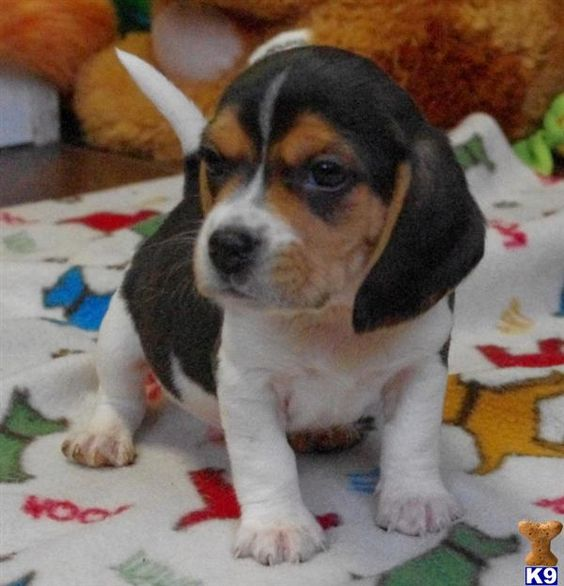 beagle mix puppies for sale in illinois Zoe Fans Blog