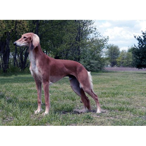 Picture Perfect Saluki What A Beauty Koira