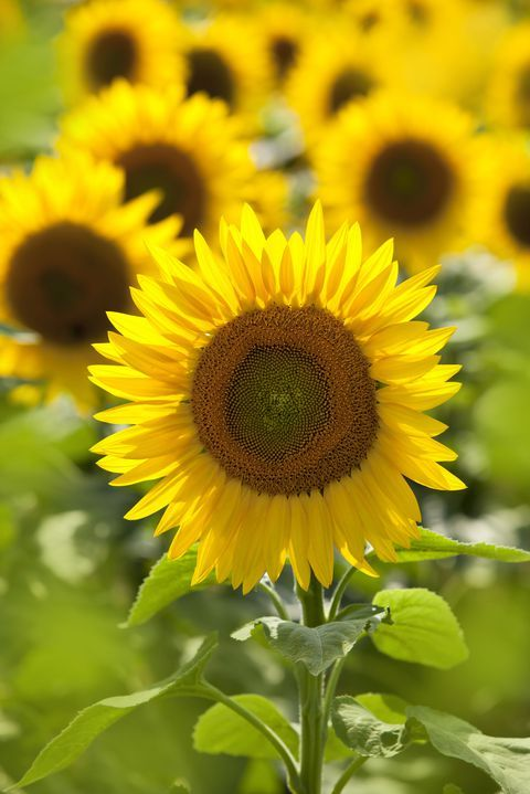This One Type Of Sunflower Can Produce Over 1 000 Blooms In A Single Season Types Of Sunflowers Backyard Garden Landscape Garden Design