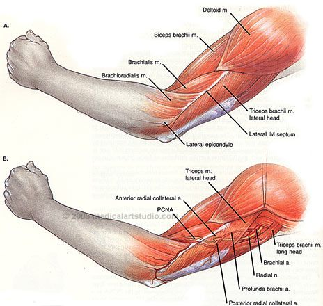 Left arm anatomy