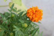 Orange flower outside my housee<3