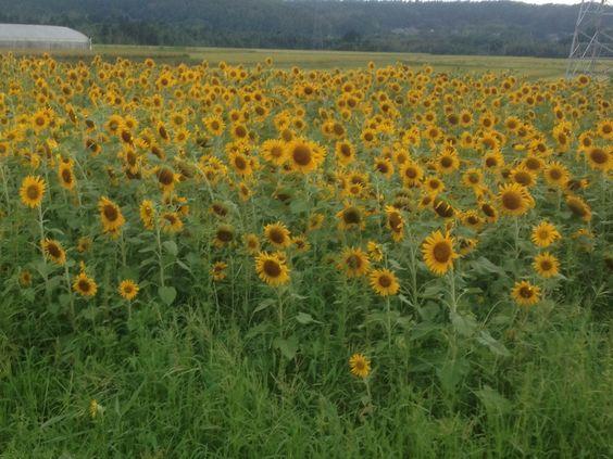 sunflower in chiba jyapan