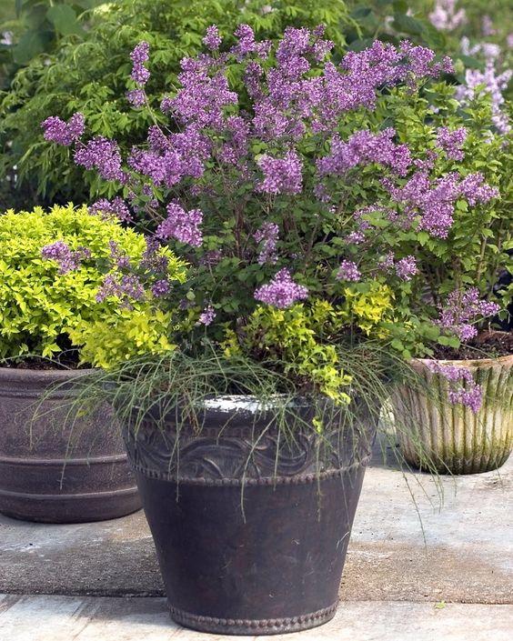 bloomerang lilac lilac i need this so my