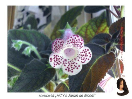Kohleria Kaufen Tomatenpflanzen Kaufen Kohleria Kohleria Kaufen Kohleria Kaufen Tomaten Pflanzen In 2020 With Images Diy Picture Crafts Crochet Earrings