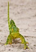 """Foto: """"Camaleón Solapa de cuello"""" El Camaleón Solapa de cuello, es originaria de África subsahariana.  A pesar de que éste ya vimos en Botswana que era de unos 20 cm de largo, a veces alcanza hasta 35 cm (14 pulgadas).  Al igual que otros camaleones, esta especie puede cambiar de color y patrón para adaptarse al entorno.  La coloración varía a través de diversos tonos de verde, amarillo y marrón.  Por lo general hay una franja pálida en los flancos inferiores y de uno a tres manchas pálidas…"""