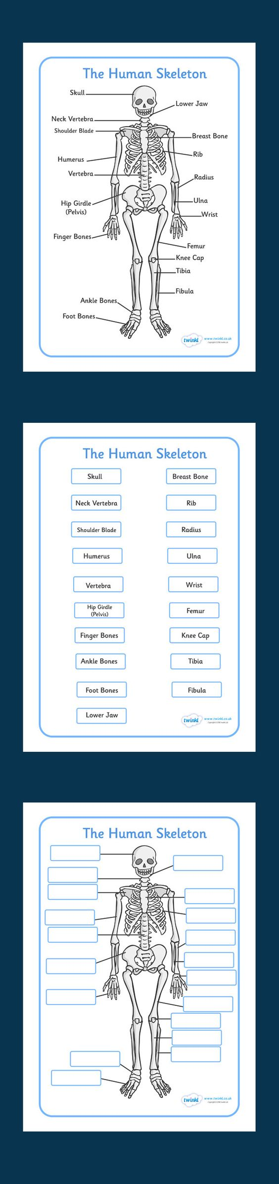Human Skeleton Labelling Sheets. Free Printable. KS2
