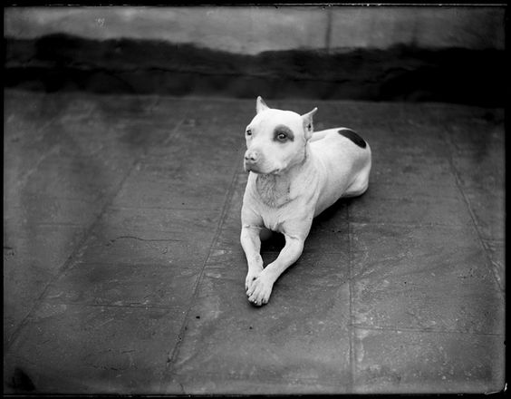 Pit Bull.1900, Negative, gelatin on glass. Photographed by William M. Van der Weyde (American, 1870 - 1929)