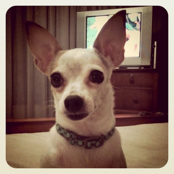 """I found this photo under """"Chihuahua""""...but it could be our Chihuahua/jack Russell mix, Boomer!!!"""