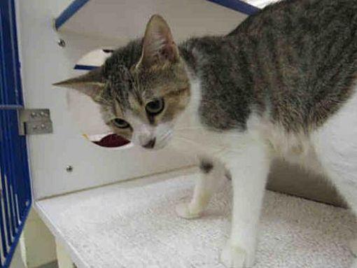 Vero Beach Fl Domestic Shorthair Meet Tigress A Cat For Adoption Siberian Cats For Sale Cat Adoption Pets