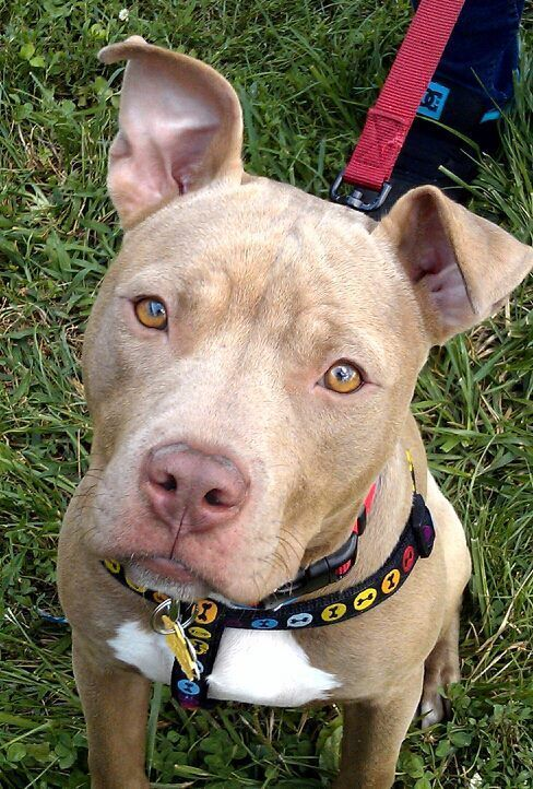 This Doggy Deserve Some Repin And Love Pitbull Terrier Pitbulls Cute Animals
