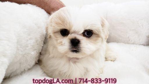 Shih Tzu Puppy For Sale In La Mirada Ca Adn 71431 On Puppyfinder