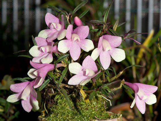 Orchid: Dendrobium agathodaemonis