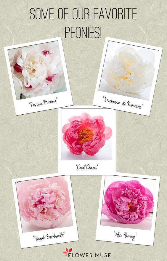 """Some of our favorite peonies - from """"Behind the Scenes at a Peony Farm"""" post on Flower Muse blog."""