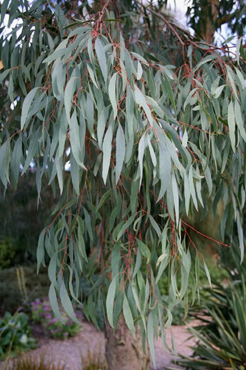 Buy Angus Willow Leaf Hardy Eucalyptus Nicholii Free Shipping 1 Gallon Size Tree For Sale Online From Wils In 2020 Willow Leaf Trees To Plant Cottage Garden Design