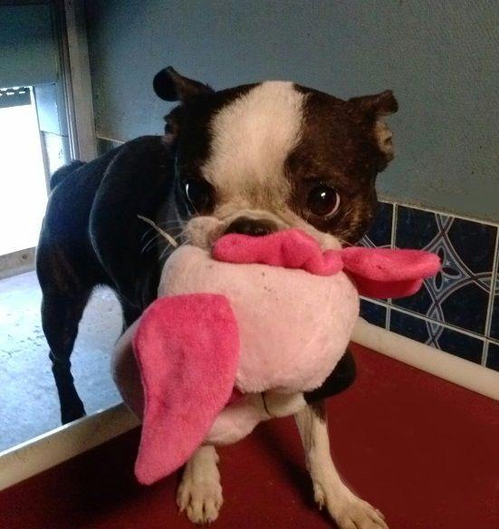 Petfinder  Adoptable | Dog | Boston Terrier | The Woodlands, TX | OAKLEY