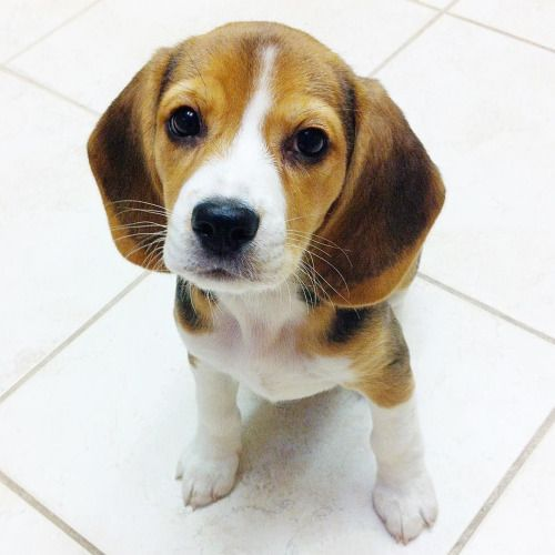 Beagle News Beagles And Other Dogs Beagle Dog Beagle Puppy