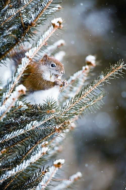 squirrel in snowy pines: