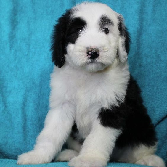 In honor of reaching 500 fluffy followers here's a #tbt to the very first picture my humans saw of me. I love you all!!! #500followers #puppy #lacyandpaws #minisheepadoodle #throwbackthursday #fluffy #sheepadoodle #puppiesofinstagram by sheepadoodlehank