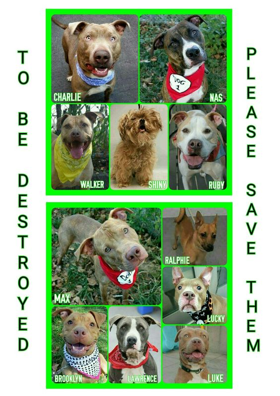 11 DOGS AT RISK OF DIEING TOMARROW TUESDAY 9-20-16PLEASE SHARE TO SAVE A LIFE ALL AVAILABLE @NYCDOGS.URGENTPODR.ORG  FOR NOW