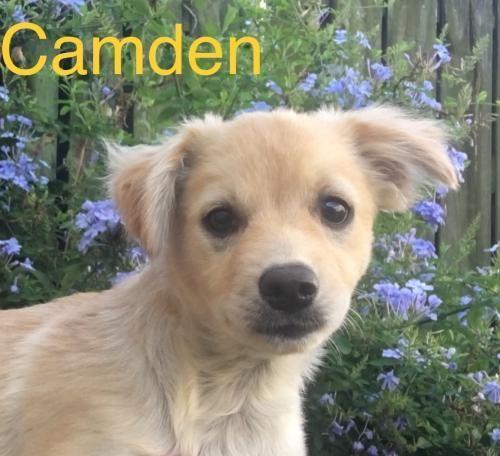 Camden Rico Adoptable Dog Puppy Male Border Collie Shetland Sheepdog Shelti Dog Adoption Shetland Sheepdog Puppies Shetland Sheepdog Blue Merle