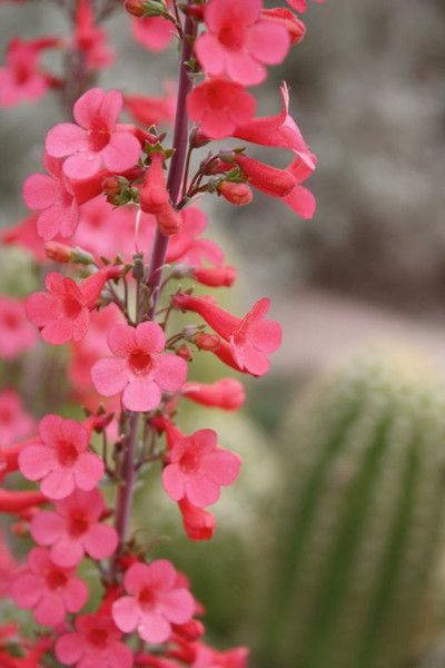 """Showy Desert Penstemon Penstemon pseudospectabilis  A favorite of hummingbirds and butterflies this penstemon produces flower stalks up to 3"""" high with vibrant pink flowers! Drought tolerant and happy in dry well-drained soils low in organic matter, it also adapts easily to the garden setting. Plant fall to early spring."""