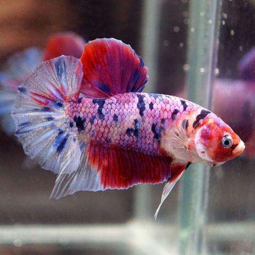 Live Betta Fish Fancy Multi Colors Koi Candy Halfmoon Plakat Hmpk Male 339 Betta Betta Fish Fish