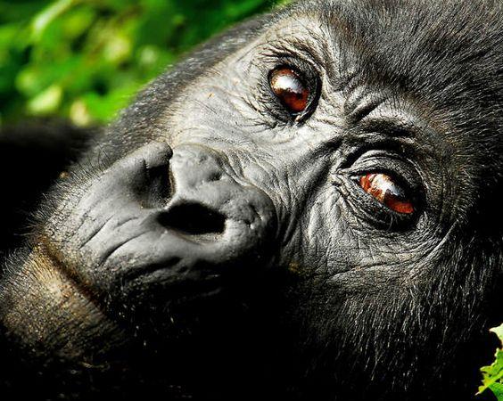 Gorillas In Your Midst: Uganda's Jungle Treks