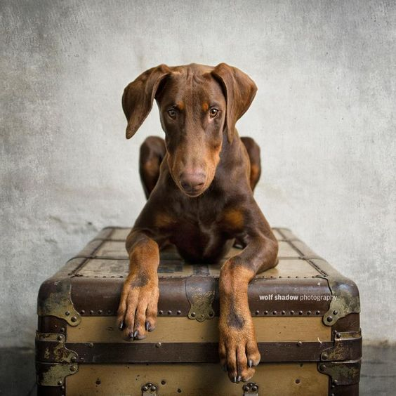 I. am. puppy. (the gorgeous Xavi, a Doberman) © wolf shadow photography (SHARE if you like)