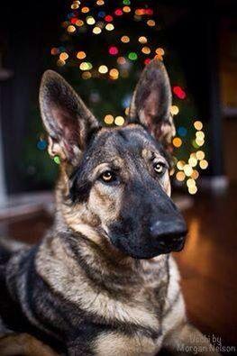 A German Shepherd Christmas