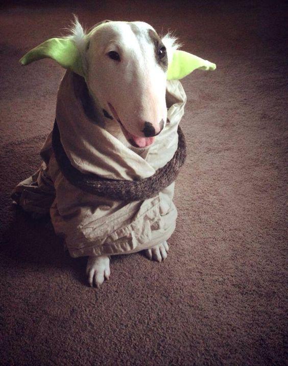 Star Wars Yoda Costume Mini Bull Terriers Bull Terrier Pitbull Terrier