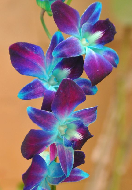 Flowers For > Blue And Purple Orchid Flower | dream ...