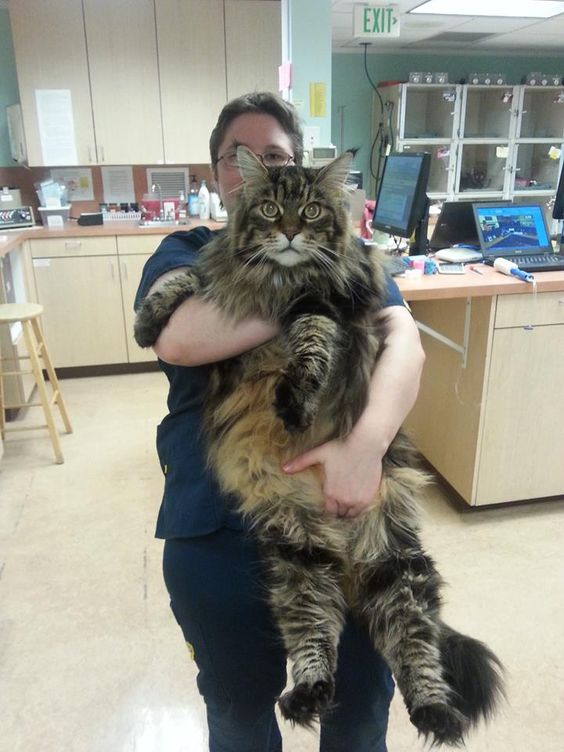 Do Maine Coon Cats Use A Litter Box