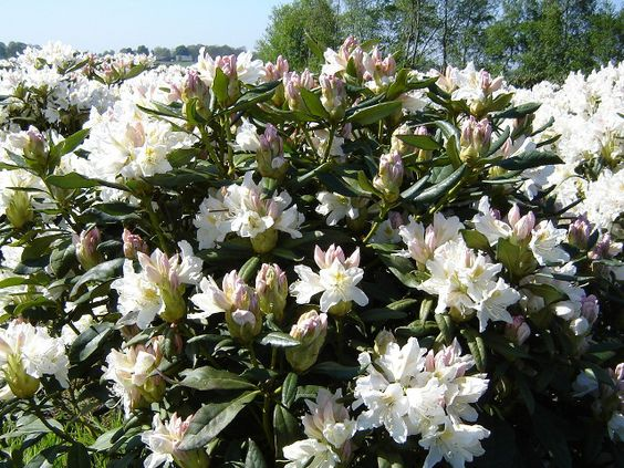 rhododendron cunningham white rhododendron flower. Black Bedroom Furniture Sets. Home Design Ideas